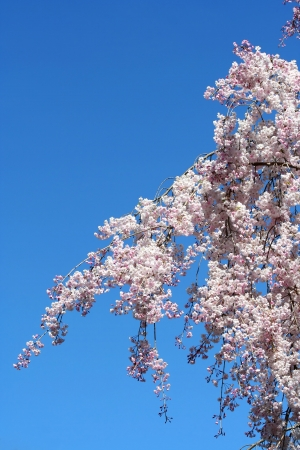 Some Cherry blossoms against blue sky