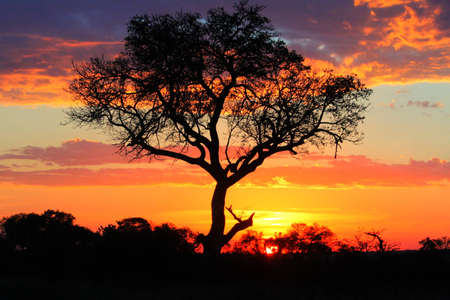A tree taken at sunset in the Kruger National Park South Africa.  photo