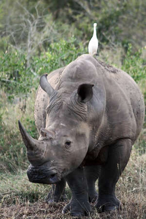 A white rhino with an egret perched on its back.  photo