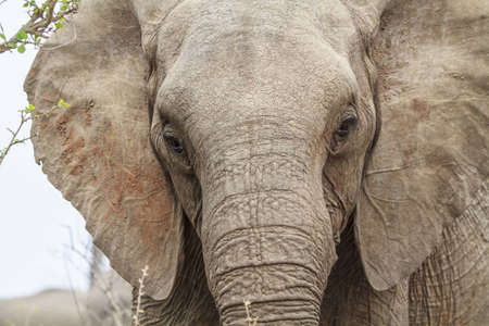 species living: Elephant head
