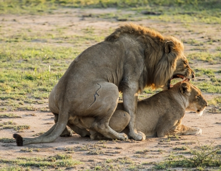 animal sex: mating lions