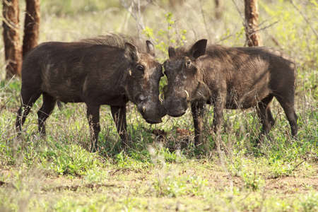 africa kiss: Warthogs looking like they are kissing
