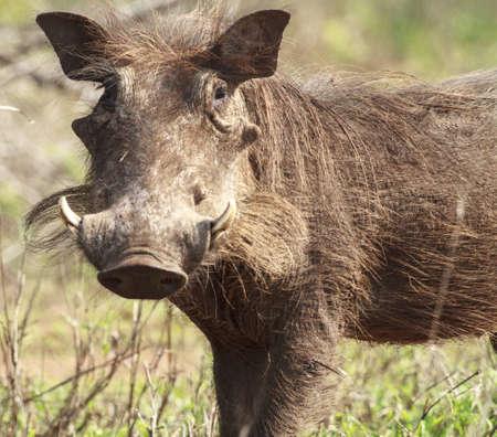tusks: A warthog with nice tusks