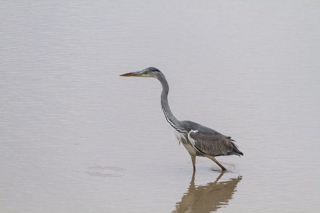 A stunning heron isolated aginst the stark contast of pale water  photo
