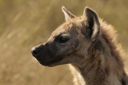 scavenge: A stunning hyena taken while on safari in South Africa. Stock Photo