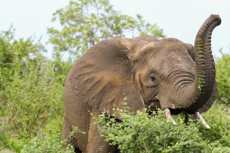 An elephant with its trunk raised having a munchon some nice fresh leaves. photo