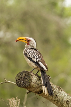 south african birds: A beautiful yellow billed hornbill against a plain backdrop.