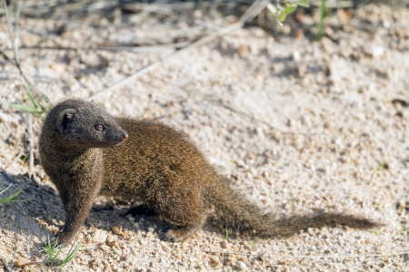 A cute and alert dwarf mongoose in it's natural environment taken in the Kruger National Park, South Africa. Stock Photo - 17677280