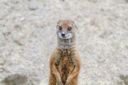 A yellow mongoose standing on its hind legs on lookout. photo