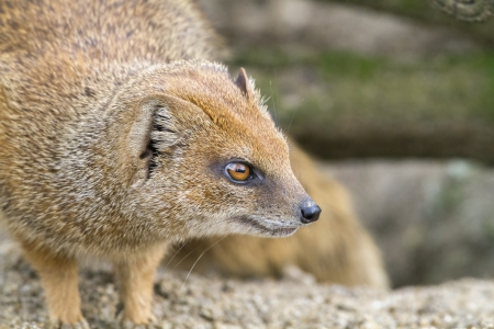 Close up of a yellow mongoose. photo