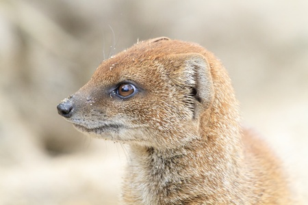 Head shot close up of a yellow mongoose. photo