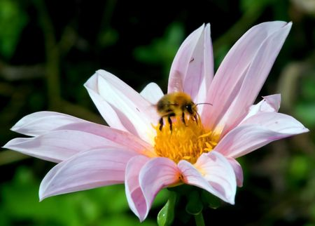 Bee collecting pollen from a flower to make honey