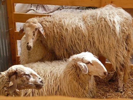 Sheep on show at an Ibiza market