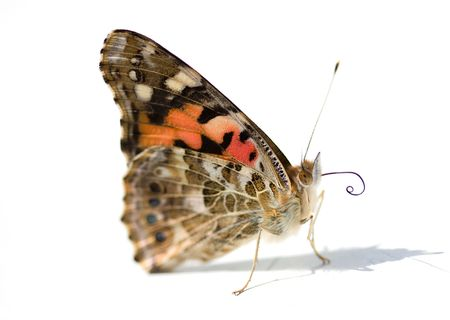 Macro of an english butterfly