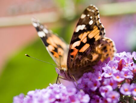 Butterfly feeding on nectar Stock Photo