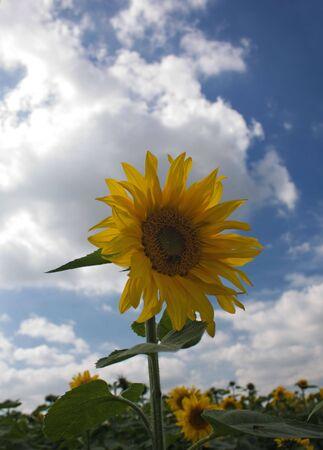 A sunflower against a blue and cloudy sky