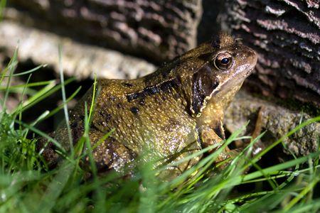 Common toad sunbathing in the garden