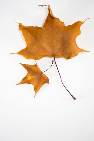 Autumn leaves on white with copyspace