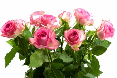 Pretty pink roses on white