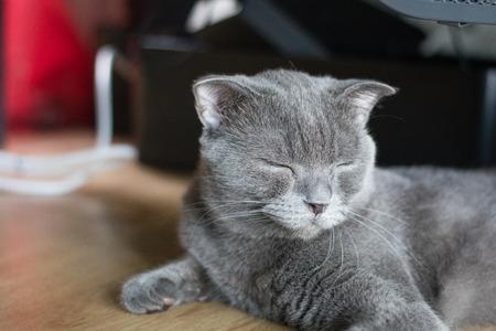 lay down: cat british short hair lay down and sleeping