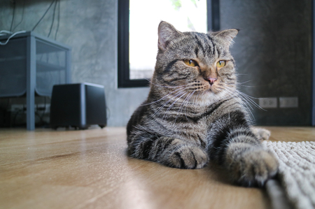 pay attention: cat american short hair stare and pay attention Stock Photo