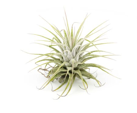 tillandsia: air plant Tillandsia isolated white background