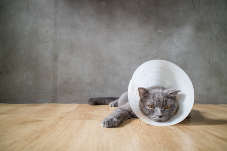 british short hair: sick cat with funnel cone collar prevent him scratch his ear,british short hair cat