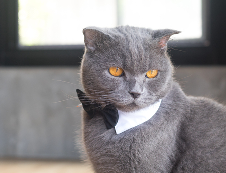 british short hair: Cat with cute bow tie or collar,British short hair cat