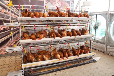 aviary: Poultry farm (aviary) full of brown chickens Stock Photo