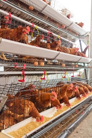 aves de corral: Las aves de corral granja (aviario), lleno de gallinas marrones