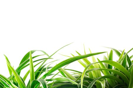 Green Leaves isolated on white Stock Photo - 11930227