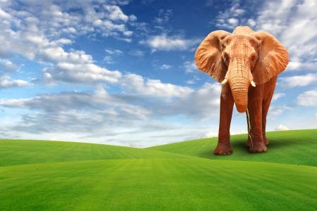 Single elephant walking in grass field photo