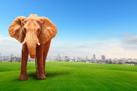 Elephant walking in grass field with cityscape background photo