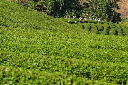 tea plantation with workers in northern Thailand photo