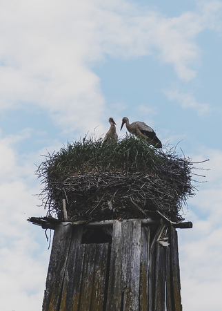 A stork with two birds on the roof 版權商用圖片