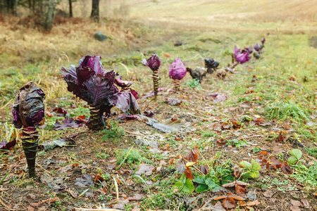 In the autumn, in the garden of the house escaped colored cabbage Stock Photo