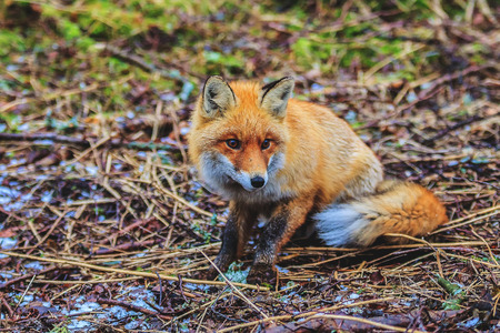 Red fox in the morning forest claims to eat Stock Photo