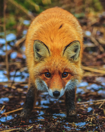 red fox in the morning forest claims to eat