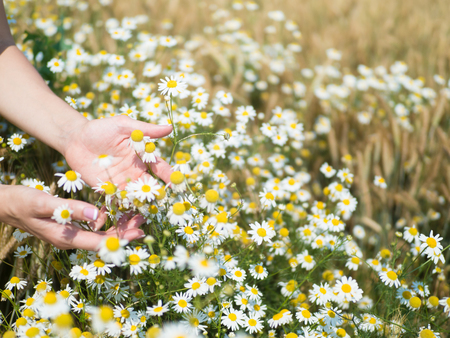 Female hands holding camomiles in field on sunny summer day 免版税图像