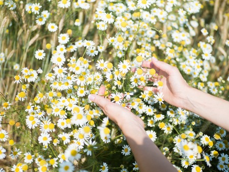 Female hands holding camomiles in field on sunny summer day Stock Photo
