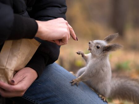Funny cheeky squirrel asks nuts from human climb up on persons knees in urban park in autumn. Selective focus.