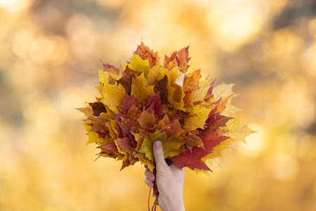 Gold autumn atmosphere. Bouquet of yellow, red and orange maple leaves in female hand in the forest blur background, selective focus