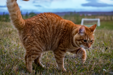 Sweet cat playing in the grass