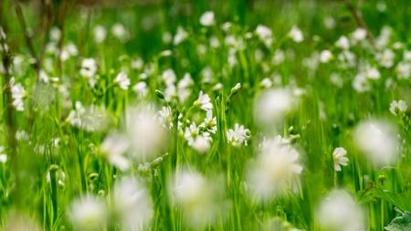 Meadow full of beautiful and white chickweed flowers Stock Photo