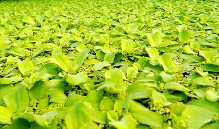 mosses: floating mosses