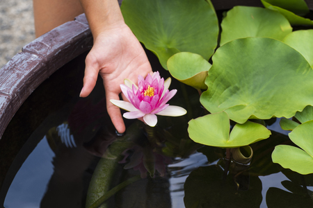 Lotus flower in a pond close-up