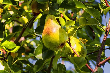 Ripe pear hangs on a tree branch, autumn ripe fruit on a tree..Pear trees laden with fruit in an orchard in the sun