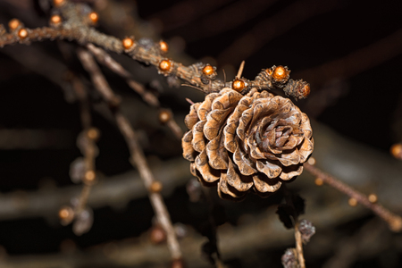 Fir cones in the form of roses.Cones. Cones in the form of roses. European larch.
