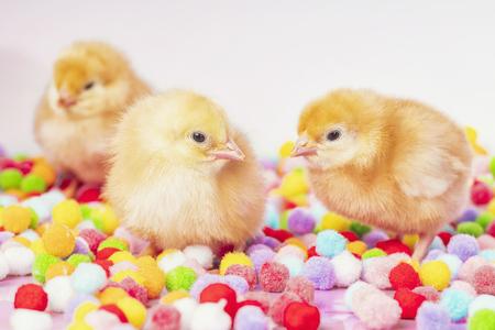 yellow chick, little chicken, newborn yellow chicken on multicolored background. Standard-Bild - 119203784