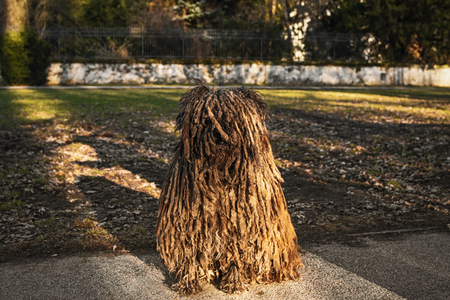 Shaggy dog.Hungarian sheepdog, is a large,Hungary s national treasures. Banque d'images